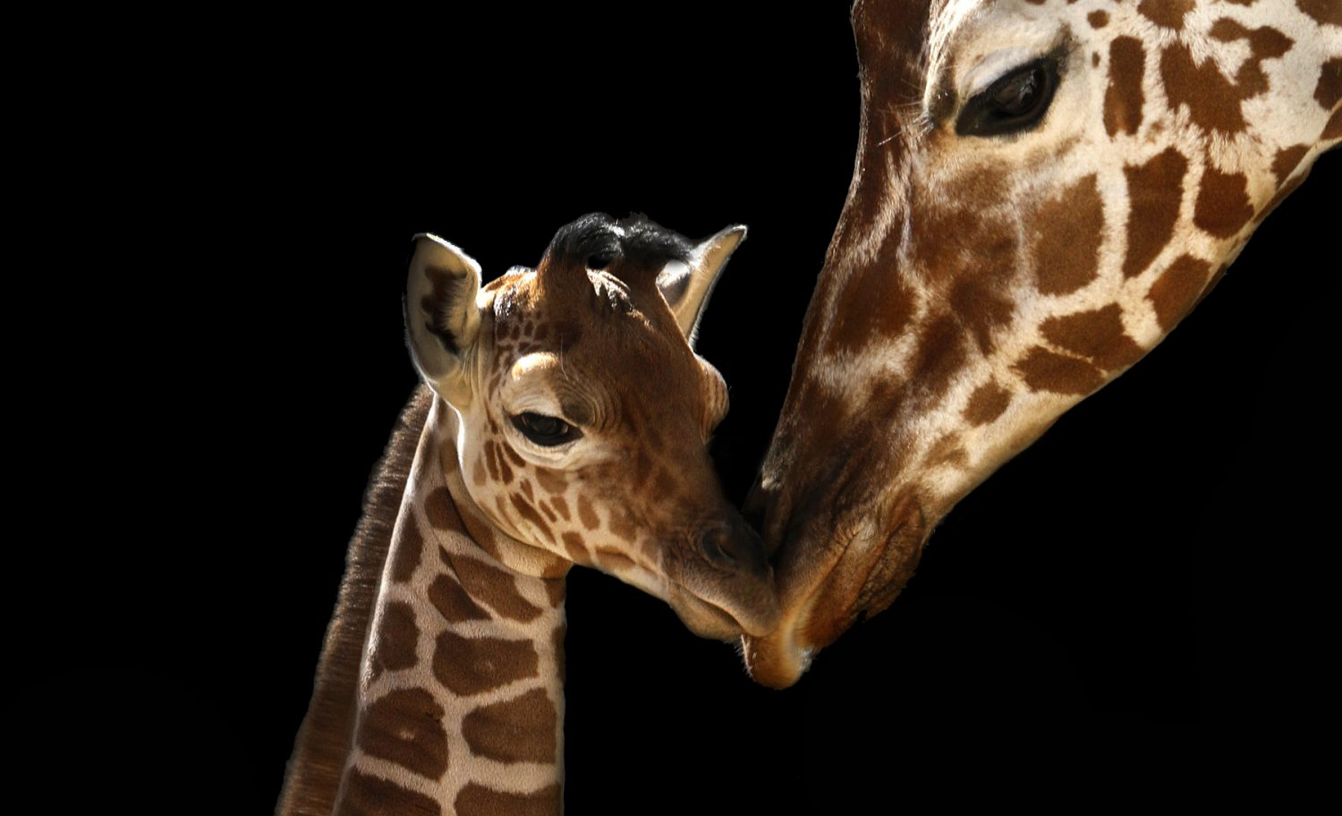 cropped-giraffe-baby-and-chrystal-black-bkgd-copy.jpg